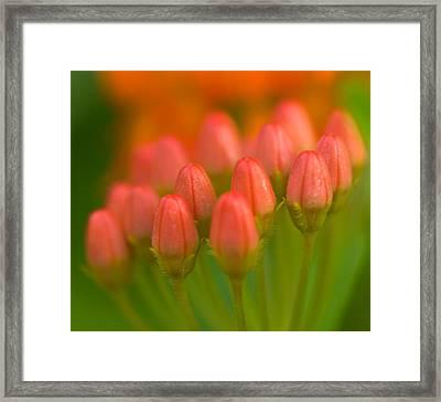 Red Tulips Framed Print by Sebastian Musial