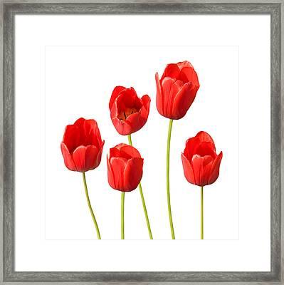 Red Tulips White Background Framed Print by Natalie Kinnear
