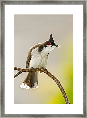 Red-whiskered Bulbul Framed Print by Science Photo Library