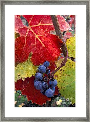 Red Wine Grapes And Leaves In Fall  Framed Print by Gary Crabbe