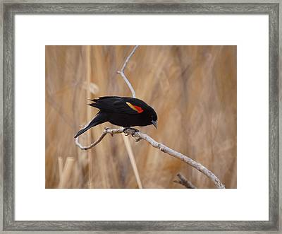 Red Winged Blackbird 1 Framed Print by Ernie Echols