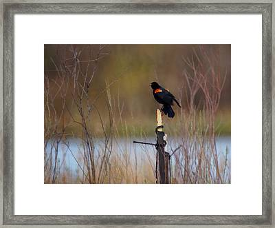 Red Winged Blackbird 2 Framed Print by Ernie Echols