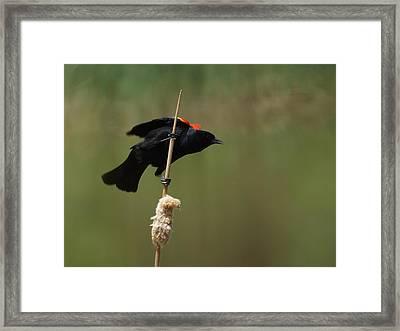 Red Winged Blackbird 3 Framed Print by Ernie Echols