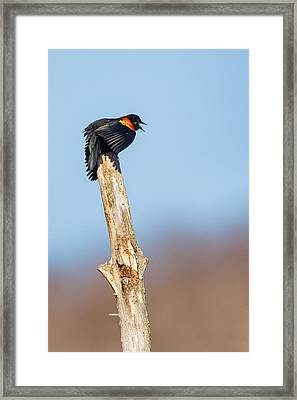 Red Winged Blackbird Framed Print by Bill  Wakeley