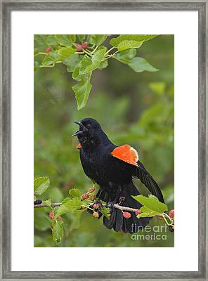 Red-winged Blackbird - D008481 Framed Print by Daniel Dempster