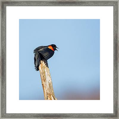 Red Winged Blackbird Square Framed Print by Bill  Wakeley