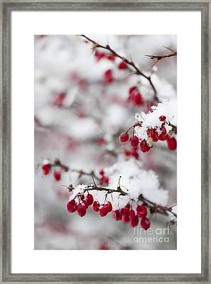 Red Winter Berries Under Snow Framed Print by Elena Elisseeva