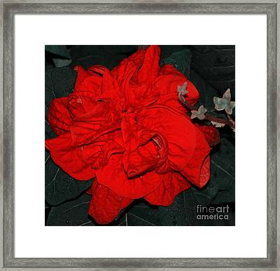 Red Winter Rose Framed Print by Kathleen Struckle