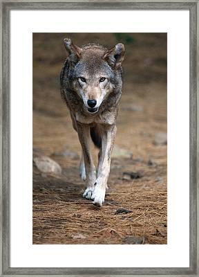Red Wolf Strut Framed Print by Karol Livote