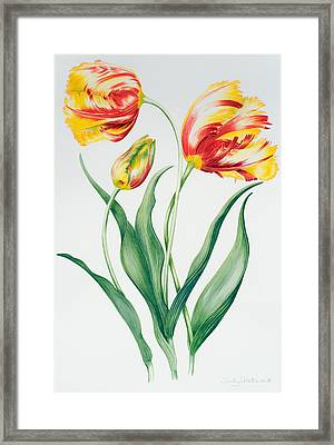 Red Yellow Parrot Tulip Group Framed Print by Sally Crosthwaite