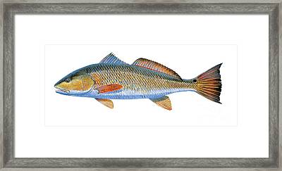 Redfish Framed Print by Carey Chen