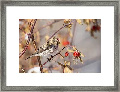 Redpoll In The Rose Bush Framed Print by Tim Grams