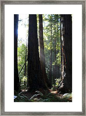Redwood Sun Rays  Framed Print by Aidan Moran