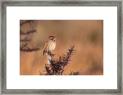 Reed Bunting Framed Print by Peter Skelton