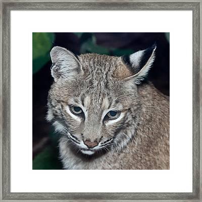 Reflective Bobcat Framed Print by John Haldane