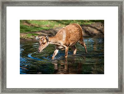 Refreshing. Female Deer In The Pamplemousse Botanical Garden. Mauritius Framed Print by Jenny Rainbow