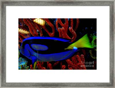 Regal Tang Blue Fish Beauty Framed Print by Luther   Fine Art