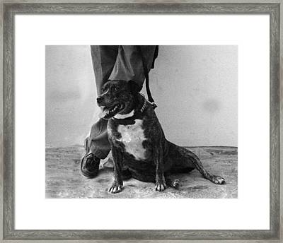 Staffie Relaxing Framed Print by Clive Beake
