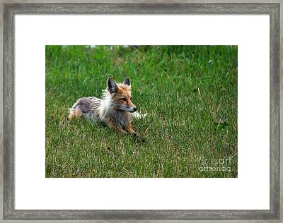 Relaxing Red Fox Framed Print by Robert Bales