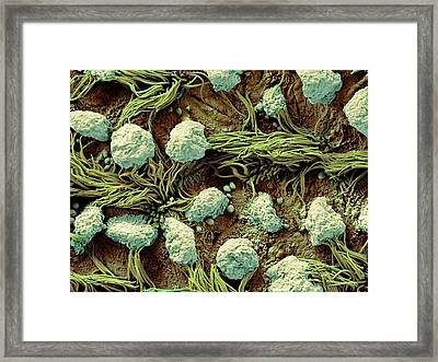 Respiratory Epithelium Framed Print by Microscopy Core Facility, Vib Gent