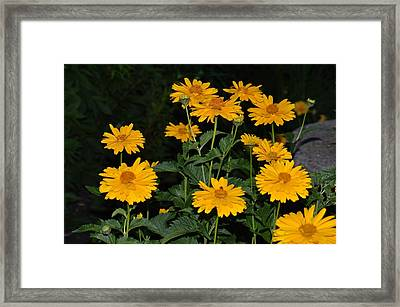 Resplendent Yellows Framed Print by Sonali Gangane