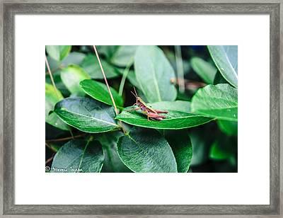 Resting Cricket Framed Print by Steven  Taylor
