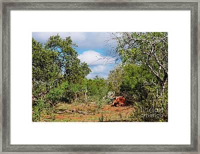 Resting Longhorn Bull - San Marcos Texas Hill Country Framed Print by Silvio Ligutti