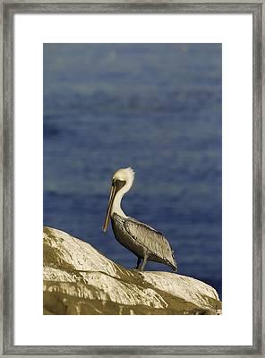 Resting Pelican Framed Print by Sebastian Musial