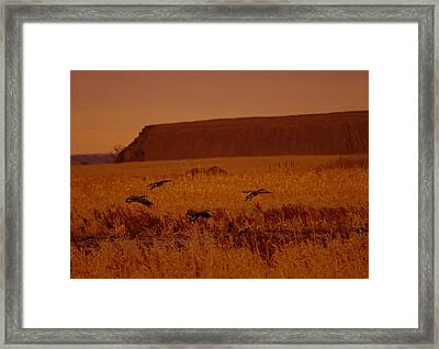 Returning Geese Land In The Little Muddy River Framed Print by Jeff Swan