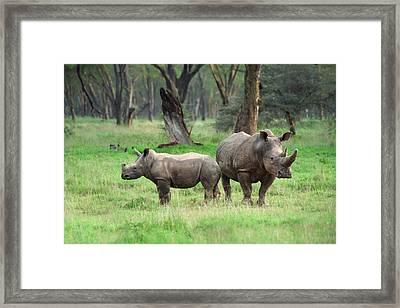 Rhino Family Framed Print by Sebastian Musial