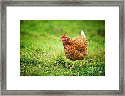 Rhode Island Red Chicken Framed Print by Elena Elisseeva