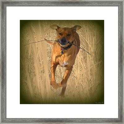 Rhodesian Ridgeback Framed Print by Mim White