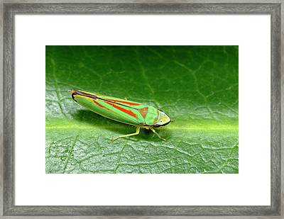 Rhododendron Leafhopper Framed Print by Nigel Downer