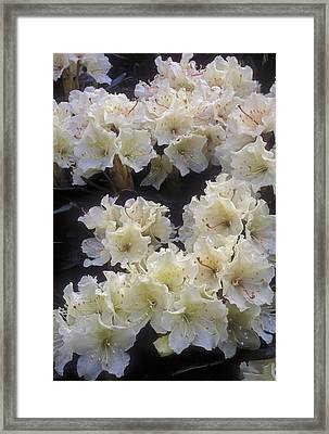 Rhododendrons Framed Print by Anonymous