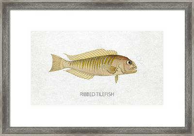 Ribbed Tilefish Framed Print by Aged Pixel