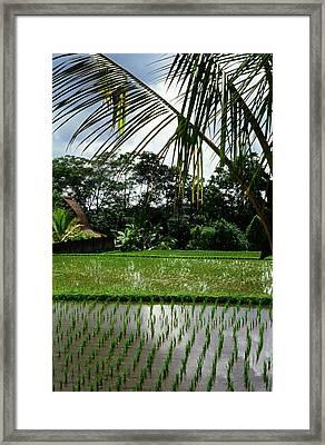 Rice Fields Bali Framed Print by Juergen Weiss