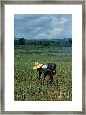 Rice Harvest In Southern China Framed Print by James Brunker