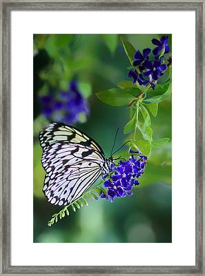 Rice Paper Butterfly Framed Print by Nikolyn McDonald