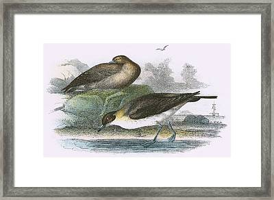 Richardsons Skua Framed Print by English School