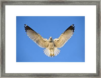 Ring Billed Gull Larus Delawarensis Framed Print by Panoramic Images