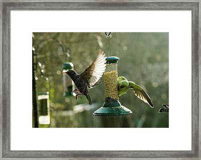 Ring-necked Parakeet Framed Print by Georgette Douwma