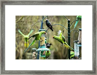 Ring-necked Parakeets Framed Print by Georgette Douwma