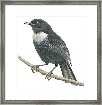 Ring Ouzel  Framed Print by Anonymous