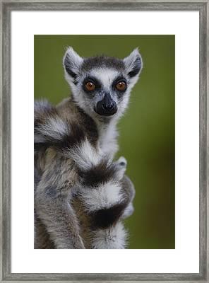 Ring-tailed Lemur Portrait  Berenty Framed Print by Pete Oxford
