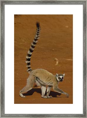 Ring-tailed Lemur Walking Berenty Framed Print by Pete Oxford