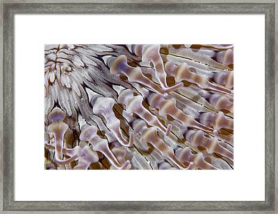 Ringed Anemone (actiniaria Framed Print by Jaynes Gallery