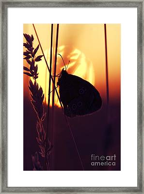 Ringlet Butterfly Sunset Silhouette Framed Print by Tim Gainey