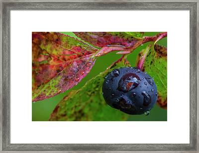 Ripe Huckleberries In A Light Rain Framed Print by Chuck Haney