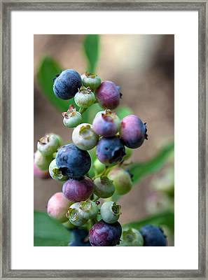 Ripening Blueberries Framed Print by John Haldane