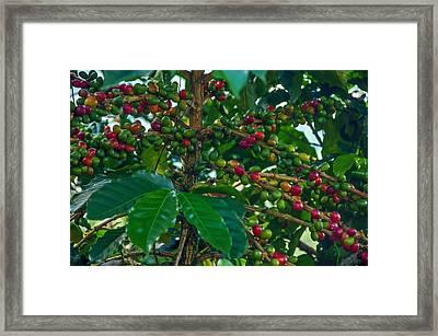 Ripening Coffee Berries Framed Print by Jess Kraft